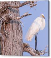 Egret In Tree Canvas Print