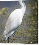 Egret Or Crane Canvas Print