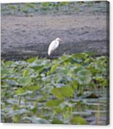 Egret Standing In Lake Canvas Print