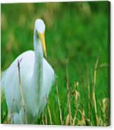 Egret Stare Down Canvas Print