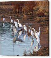 Egrets Gathering For Fishing Contest. Canvas Print