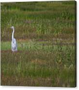 Egrets In A Field Canvas Print
