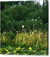 Egrets Nesting Canvas Print