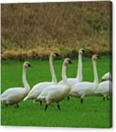 Eight Beautiful Swans Canvas Print