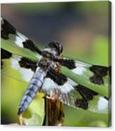 Eight-spotted Skimmer  Canvas Print