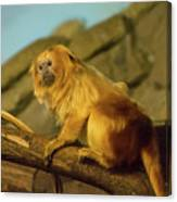 El Paso Zoo - Golden Lion Tamarin Canvas Print