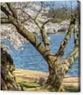 Elder Cherry Tree Canvas Print