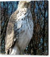 Elder Hawk Canvas Print
