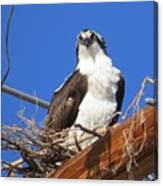 Electric Blue Osprey Canvas Print