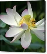 Elegant Lotus Canvas Print
