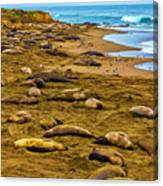 Elephant Seals Near Cambria  Canvas Print