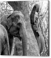 Elephant Tree Black And White  Canvas Print