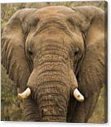 Elephant Watching Canvas Print