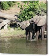 Elephants Drinking In Sinc Canvas Print