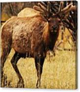 Elk #1 Canvas Print