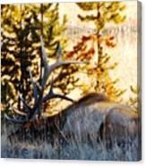 Elk Als Yellowstone Canvas Print