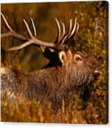 Elk Bull Bugling In Autumn Woodlands Canvas Print