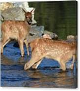 Elk Calf Crossing River 1 Canvas Print