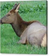 Elk Cow Canvas Print