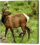 Elk Doe Canvas Print