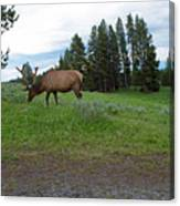 Elk Feeding Canvas Print