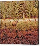 Elk Harem Canvas Print