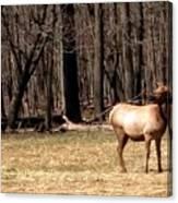Elk Herd Canvas Print