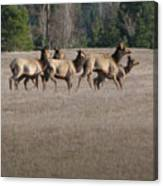 Elk Herd Canvas Print