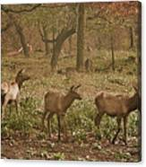 Elk In The Early Morning Canvas Print