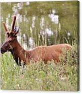 Elk Of Jasper... Canvas Print