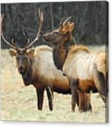 Elk Pair Canvas Print