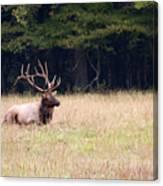Elk Sitting Down Canvas Print