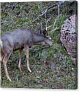 Elk With Antlers Canvas Print