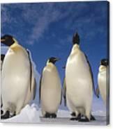 Emperor Penguins Antarctica Canvas Print