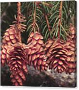 Engelmann Spruce Cones Canvas Print