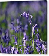 English Bluebells In Bloom Canvas Print