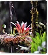 Epiphytic Plants Canvas Print
