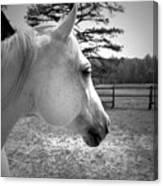 Equine Profile Canvas Print