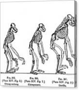 Ernst Haeckel, Evolution Of Man, 1879 Canvas Print