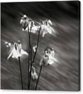 Ethereal Columbine Monochrome Canvas Print