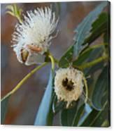 Eucalyptus Bloom Canvas Print