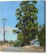 Eucalyptus Tree Near Schellville, Ca Canvas Print