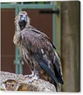 Eurasian Black Vulture 1 Canvas Print