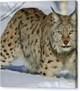 Eurasian Lynx  In Snow Canvas Print