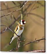 European Goldfinch 2 Canvas Print
