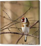 European Goldfinch 3 Canvas Print