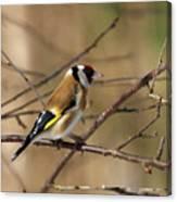 European Goldfinch 5 Canvas Print