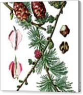 European Larch, Pinus Larix Canvas Print