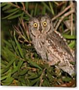 European Scops Owl  Canvas Print