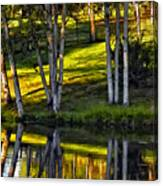 Evening Birches Canvas Print